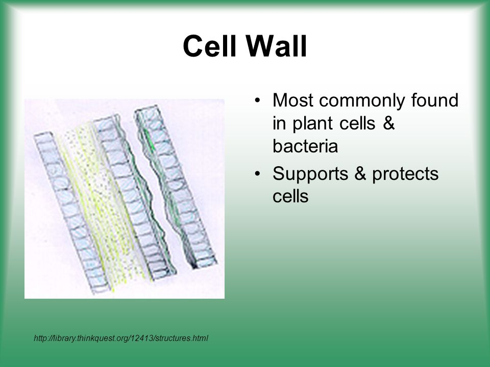 Cell Wall Most commonly found in plant cells & bacteria Supports & protects cells http://library.thinkquest.org/12413/structures.html
