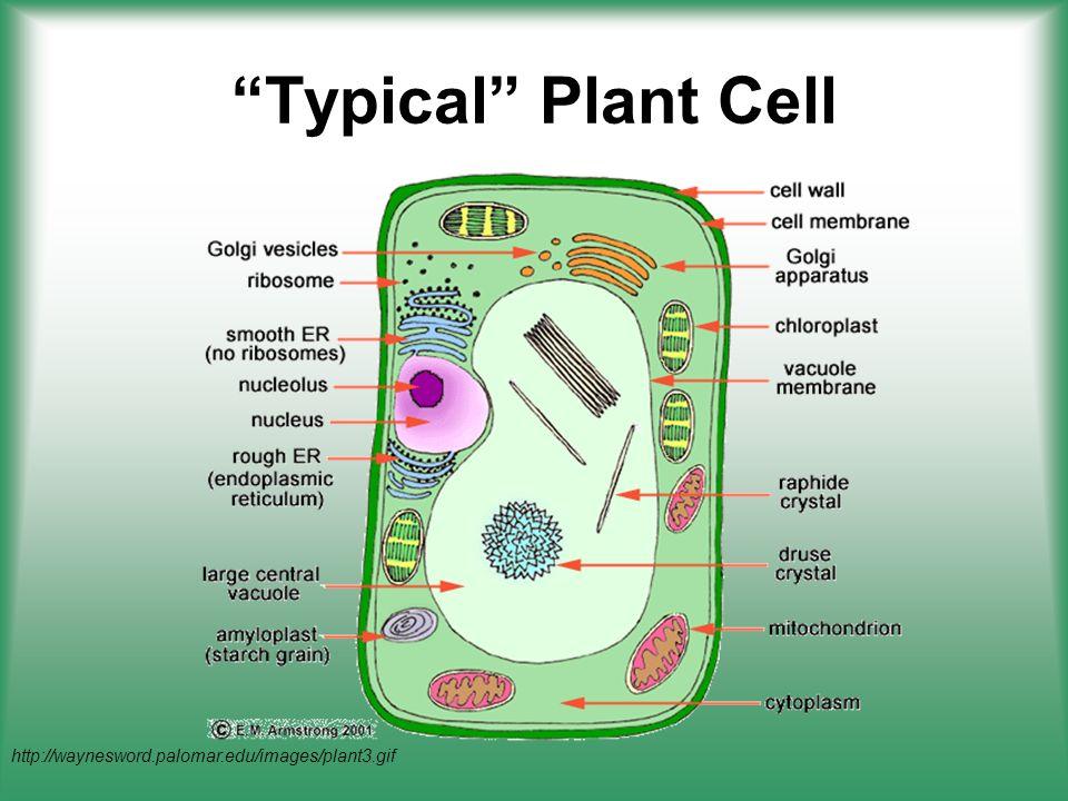 http://waynesword.palomar.edu/images/plant3.gif Typical Plant Cell