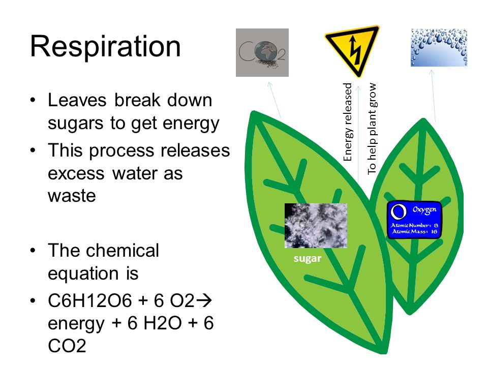 Respiration Leaves break down sugars to get energy This process releases excess water as waste The chemical equation is C6H12O6 + 6 O2 energy + 6 H2O