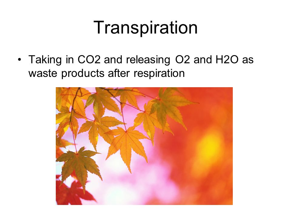 Transpiration Taking in CO2 and releasing O2 and H2O as waste products after respiration