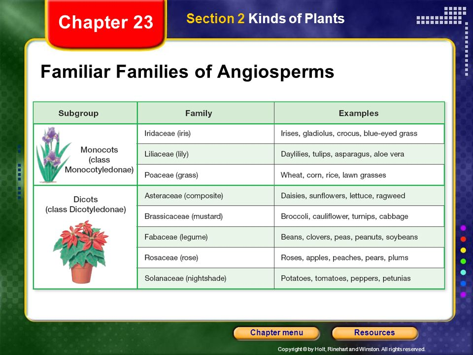 Copyright © by Holt, Rinehart and Winston. All rights reserved. ResourcesChapter menu Familiar Families of Angiosperms Section 2 Kinds of Plants Chapt