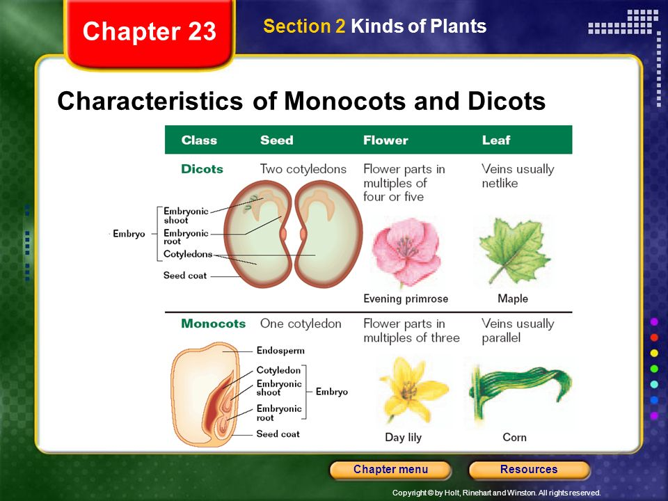 Copyright © by Holt, Rinehart and Winston. All rights reserved. ResourcesChapter menu Characteristics of Monocots and Dicots Section 2 Kinds of Plants