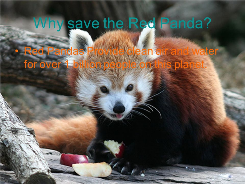 Red Panda Facts 42 long (including long bushy tail) Can weigh from 7-14 pounds Related to Giant Panda (But they resemble Raccoons) Has hair everywhere on its body-even the soles of their feet.