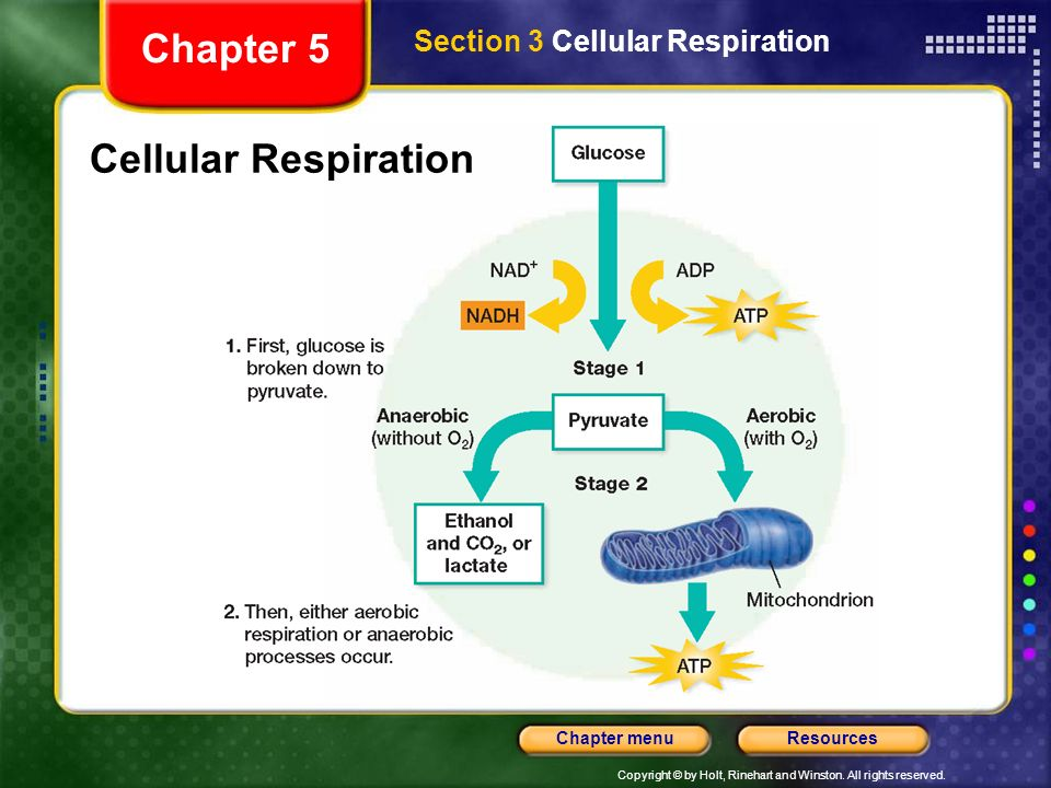 Copyright © by Holt, Rinehart and Winston. All rights reserved. ResourcesChapter menu Cellular Respiration Section 3 Cellular Respiration Chapter 5