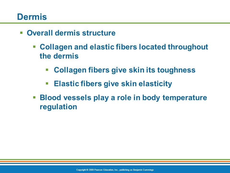 Copyright © 2009 Pearson Education, Inc., publishing as Benjamin Cummings Dermis Overall dermis structure Collagen and elastic fibers located throughout the dermis Collagen fibers give skin its toughness Elastic fibers give skin elasticity Blood vessels play a role in body temperature regulation
