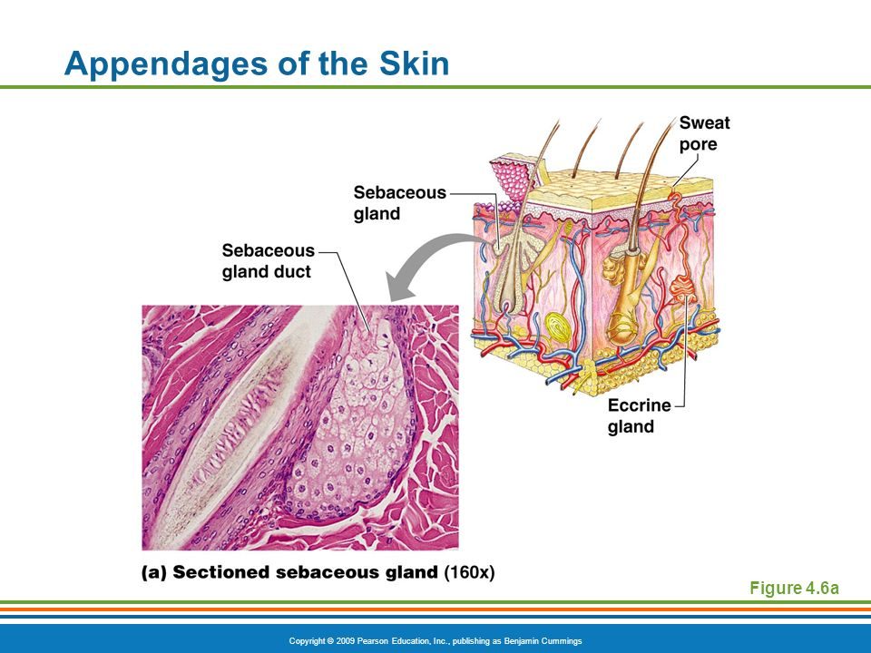 Copyright © 2009 Pearson Education, Inc., publishing as Benjamin Cummings Appendages of the Skin Figure 4.6a