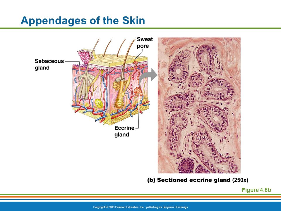 Copyright © 2009 Pearson Education, Inc., publishing as Benjamin Cummings Appendages of the Skin Figure 4.6b