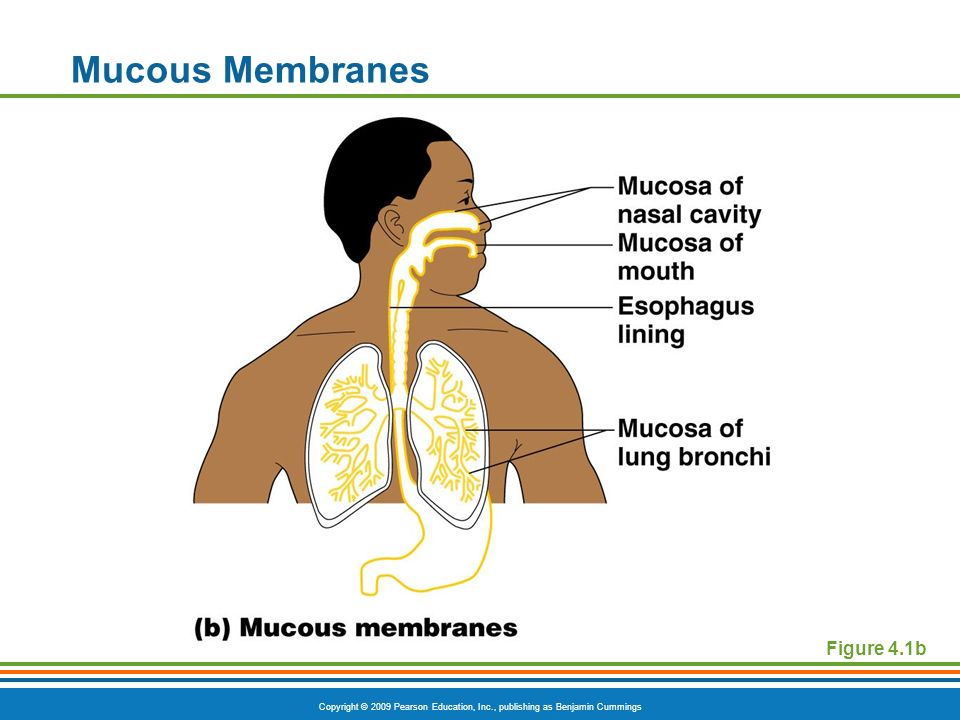 Copyright © 2009 Pearson Education, Inc., publishing as Benjamin Cummings Mucous Membranes Figure 4.1b