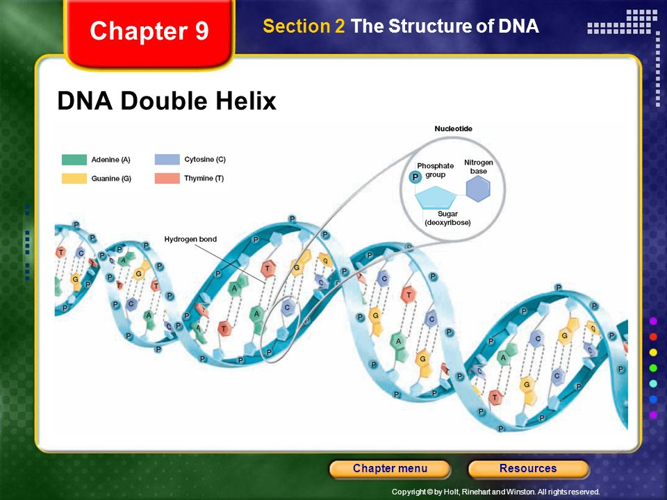 Copyright © by Holt, Rinehart and Winston. All rights reserved. ResourcesChapter menu A Winding Staircase Watson and Crick determined that a DNA molec