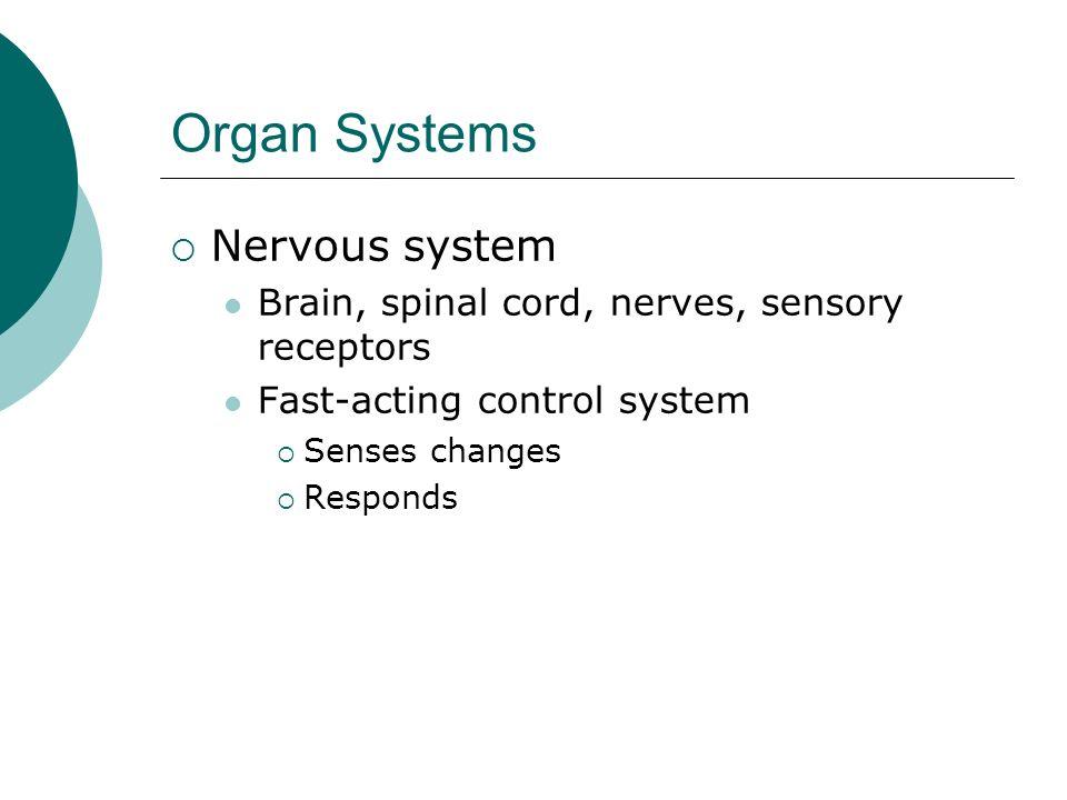 Organ Systems Nervous system Brain, spinal cord, nerves, sensory receptors Fast-acting control system Senses changes Responds