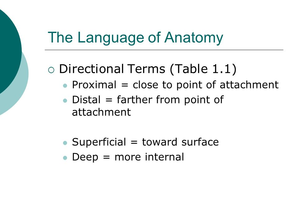 The Language of Anatomy Directional Terms (Table 1.1) Proximal = close to point of attachment Distal = farther from point of attachment Superficial =