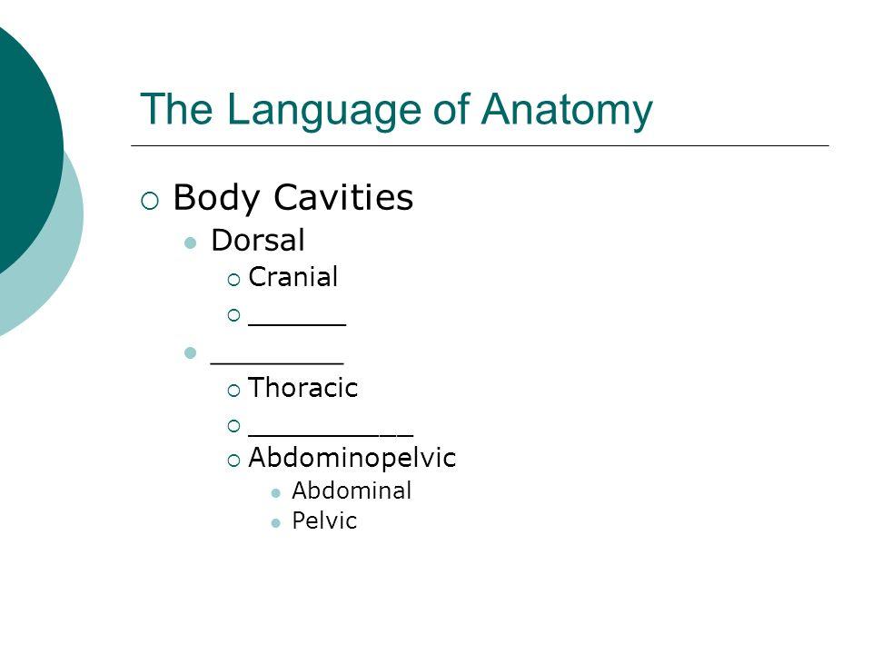 The Language of Anatomy Body Cavities Dorsal Cranial ______ _______ Thoracic __________ Abdominopelvic Abdominal Pelvic