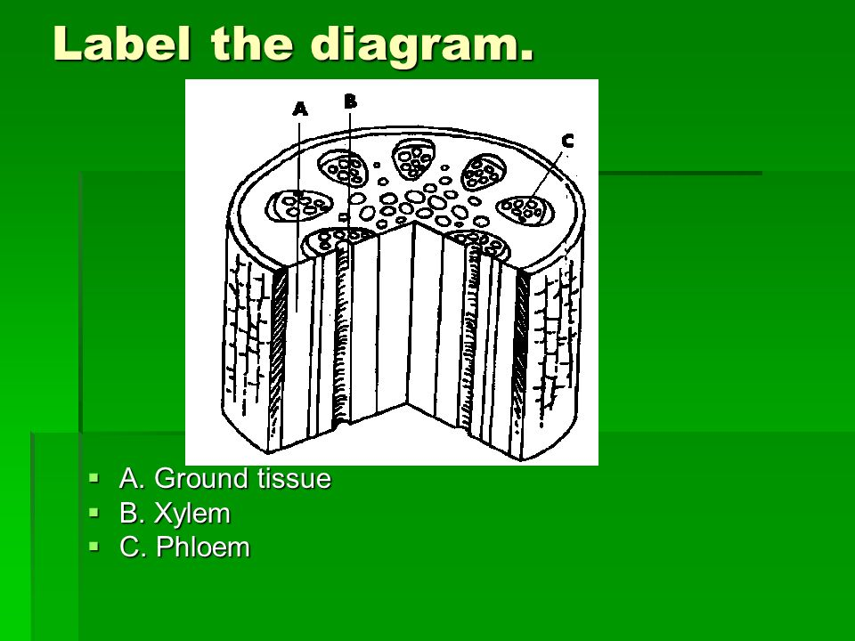 Label the diagram. A. Ground tissue A. Ground tissue B. Xylem B. Xylem C. Phloem C. Phloem