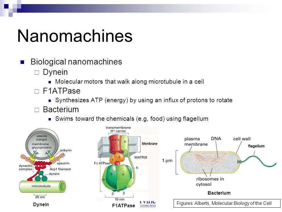 4 Nanomachines Biological nanomachines Dynein Molecular motors that walk along microtubule in a cell F1ATPase Synthesizes ATP (energy) by using an inf