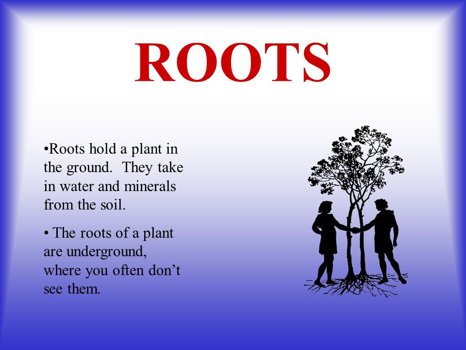 ROOTS Roots hold a plant in the ground. They take in water and minerals from the soil. The roots of a plant are underground, where you often dont see