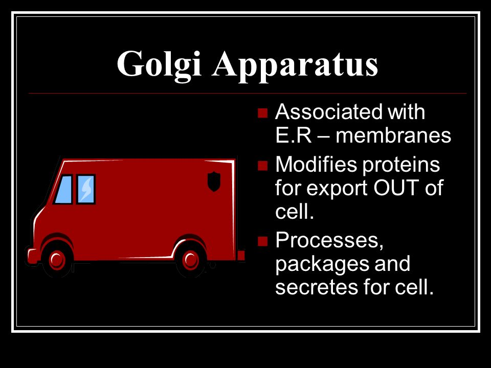 Golgi Apparatus Associated with E.R – membranes Modifies proteins for export OUT of cell. Processes, packages and secretes for cell.