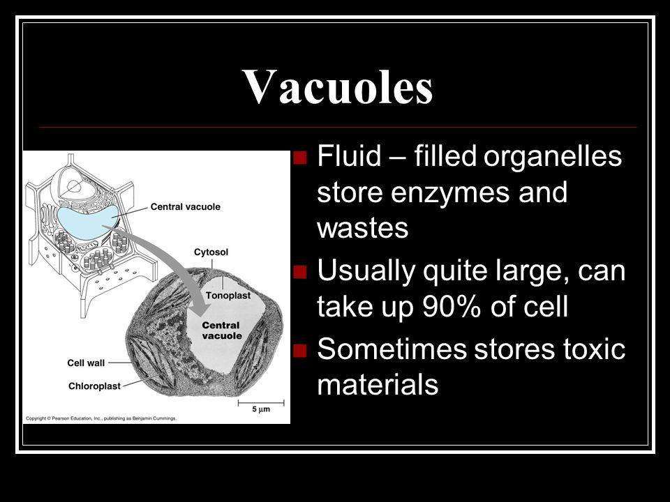 Vacuoles Fluid – filled organelles store enzymes and wastes Usually quite large, can take up 90% of cell Sometimes stores toxic materials