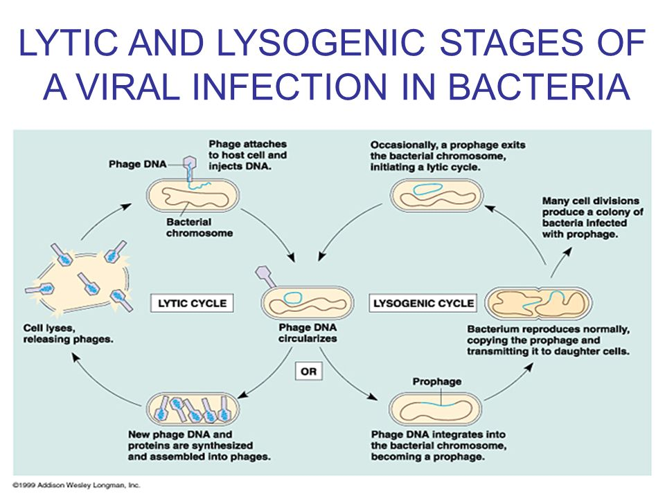 LYTIC AND LYSOGENIC STAGES OF A VIRAL INFECTION IN BACTERIA