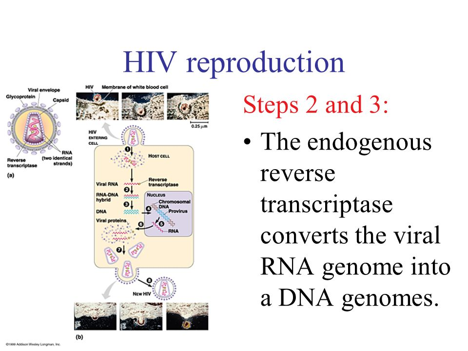 HIV reproduction Steps 2 and 3: The endogenous reverse transcriptase converts the viral RNA genome into a DNA genomes.