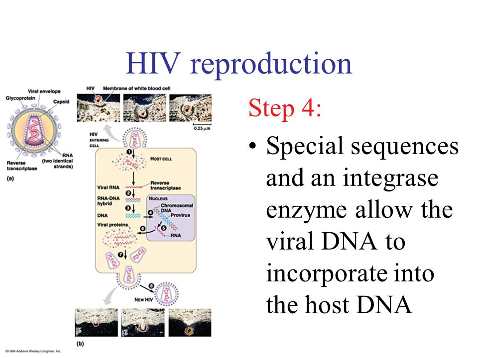 HIV reproduction Step 4: Special sequences and an integrase enzyme allow the viral DNA to incorporate into the host DNA