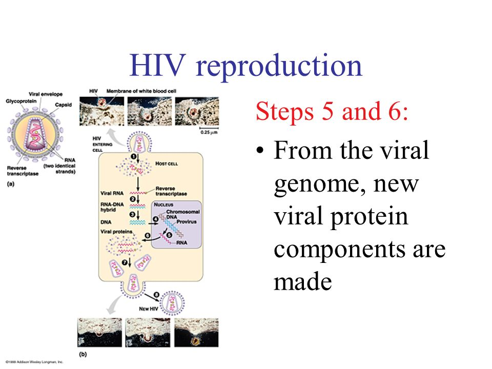 HIV reproduction Steps 5 and 6: From the viral genome, new viral protein components are made