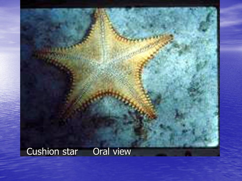 Cushion star Oral view