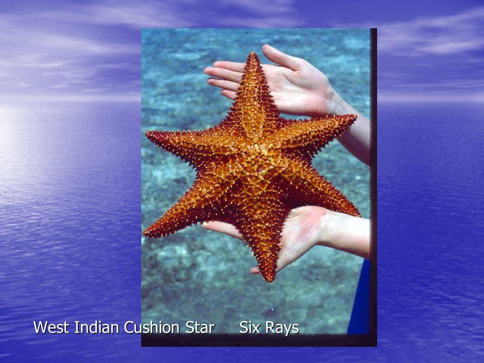 West Indian Cushion Star Six Rays