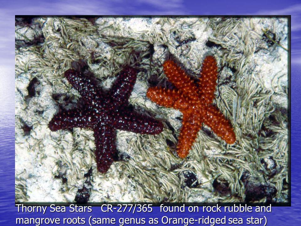 Thorny Sea Stars CR-277/365 found on rock rubble and mangrove roots (same genus as Orange-ridged sea star)