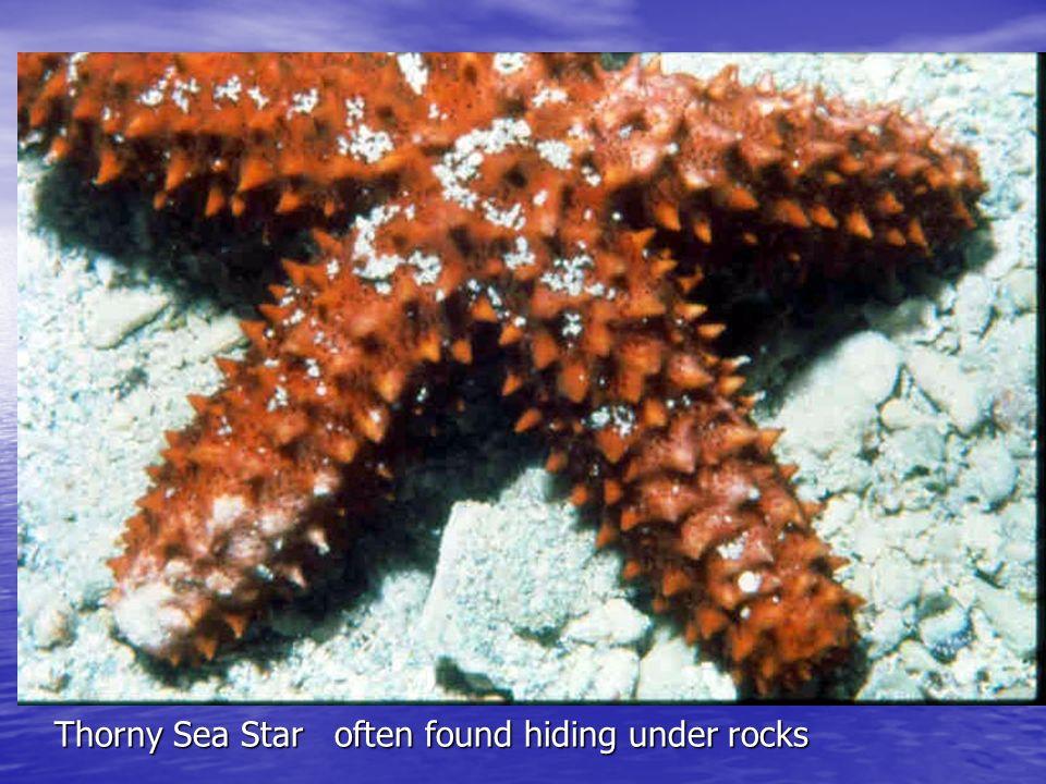 Thorny Sea Star often found hiding under rocks