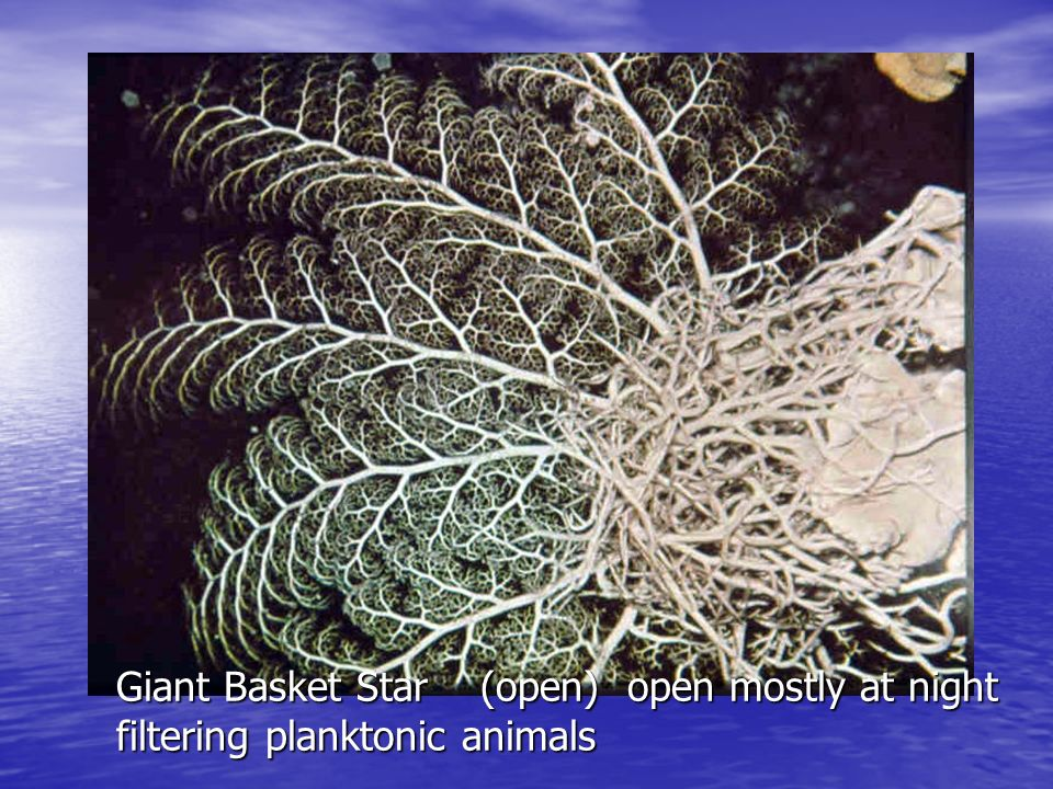 Giant Basket Star (open) open mostly at night filtering planktonic animals