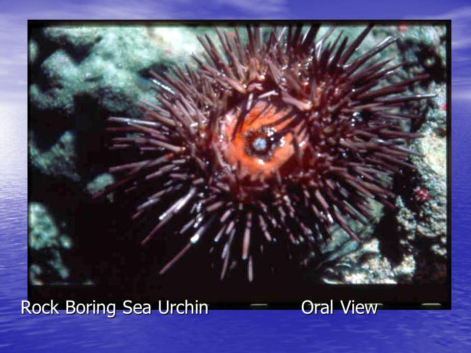 Rock Boring Sea Urchin Oral View