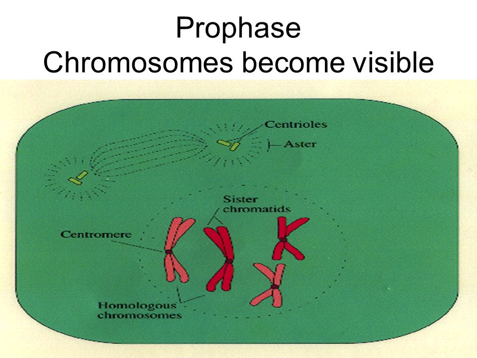 Prophase Chromosomes become visible