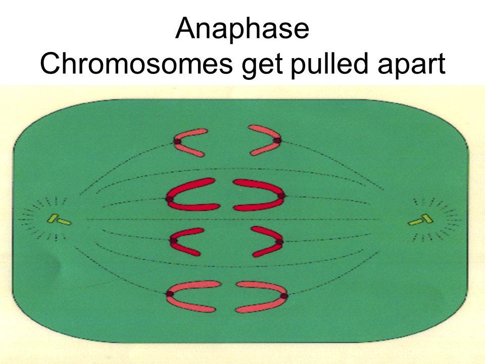 Anaphase Chromosomes get pulled apart