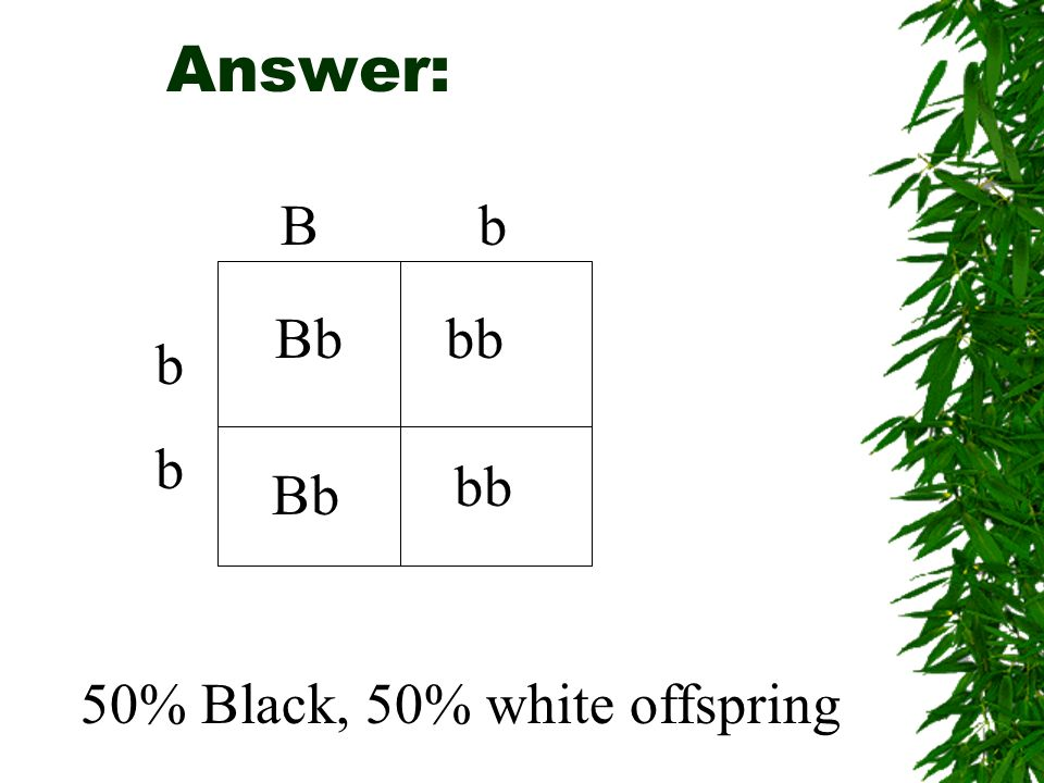 Answer: B b b Bbbb Bb bb 50% Black, 50% white offspring