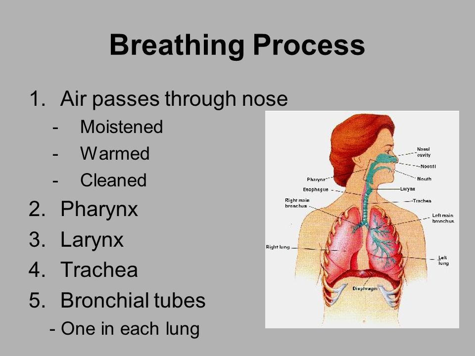 Breathing Process 1.Air passes through nose -Moistened -Warmed -Cleaned 2.Pharynx 3.Larynx 4.Trachea 5.Bronchial tubes - One in each lung