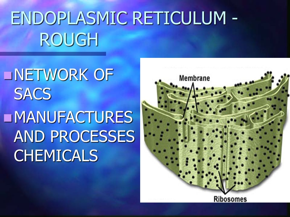 ENDOPLASMIC RETICULUM - ROUGH NETWORK OF SACS NETWORK OF SACS MANUFACTURES AND PROCESSES CHEMICALS MANUFACTURES AND PROCESSES CHEMICALS