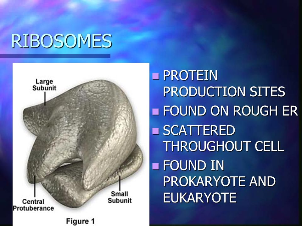 RIBOSOMES PROTEIN PRODUCTION SITES FOUND ON ROUGH ER SCATTERED THROUGHOUT CELL FOUND IN PROKARYOTE AND EUKARYOTE