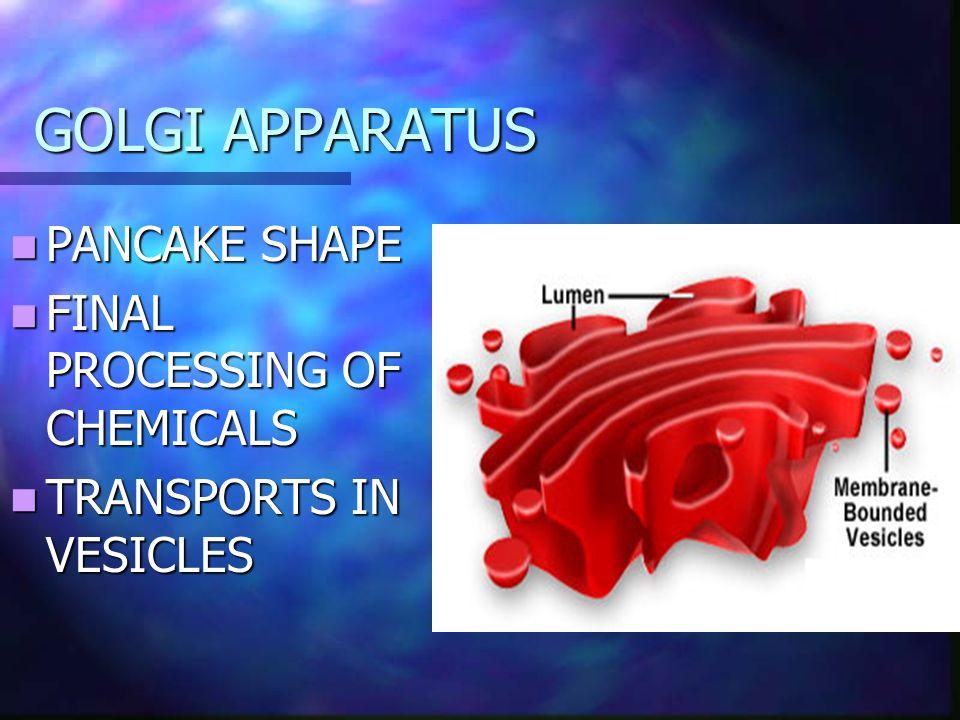 GOLGI APPARATUS PANCAKE SHAPE PANCAKE SHAPE FINAL PROCESSING OF CHEMICALS FINAL PROCESSING OF CHEMICALS TRANSPORTS IN VESICLES TRANSPORTS IN VESICLES
