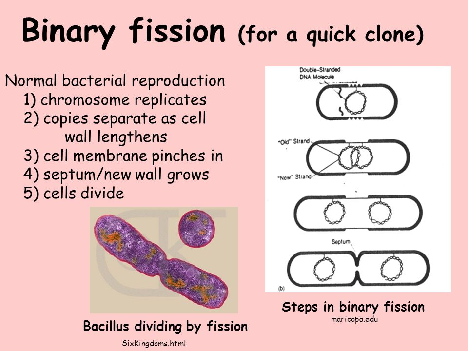 Normal bacterial reproduction 1) chromosome replicates 2) copies separate as cell wall lengthens 3) cell membrane pinches in 4) septum/new wall grows