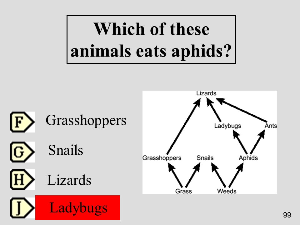 Which of these animals eats aphids? Grasshoppers Snails Lizards Ladybugs 99