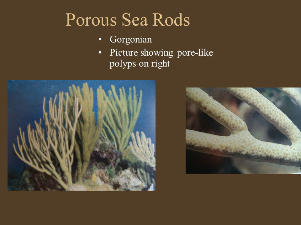 Porous Sea Rods Gorgonian Picture showing pore-like polyps on right