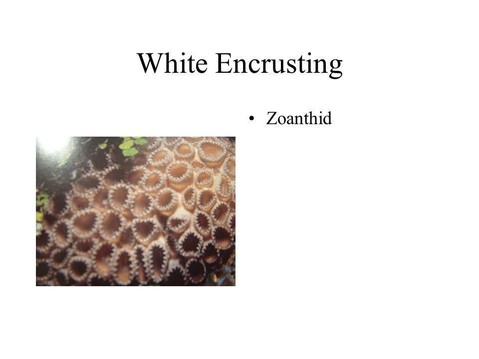 White Encrusting Zoanthid
