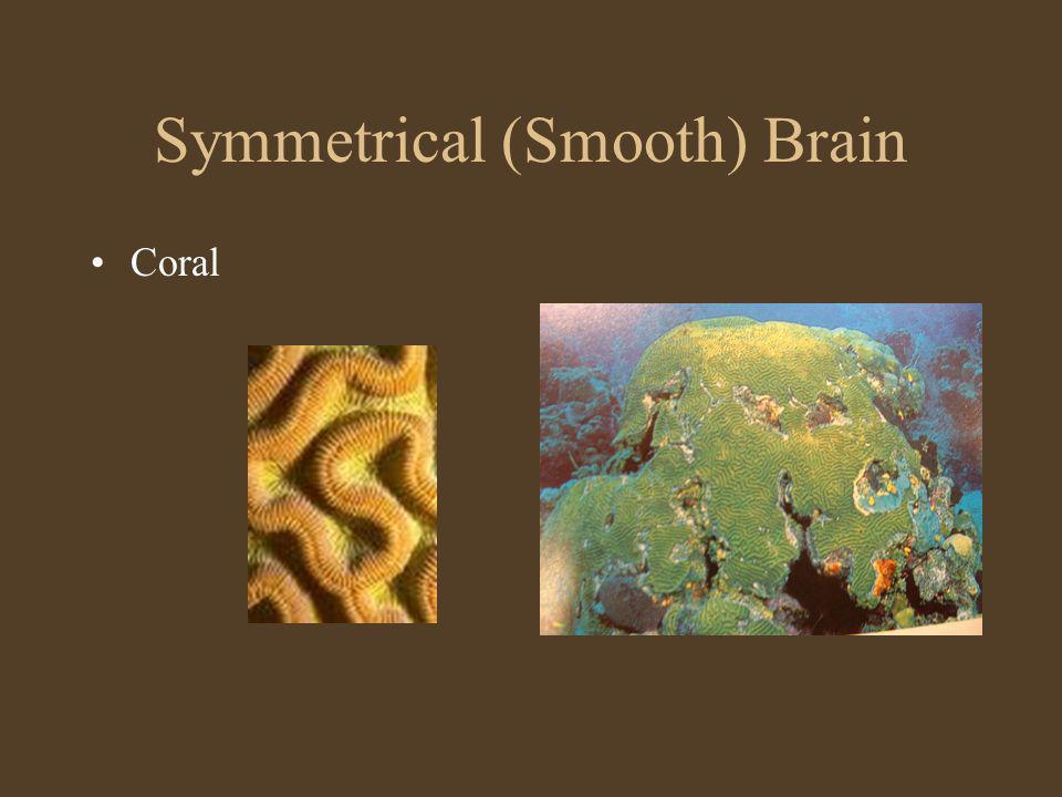 Symmetrical (Smooth) Brain Coral
