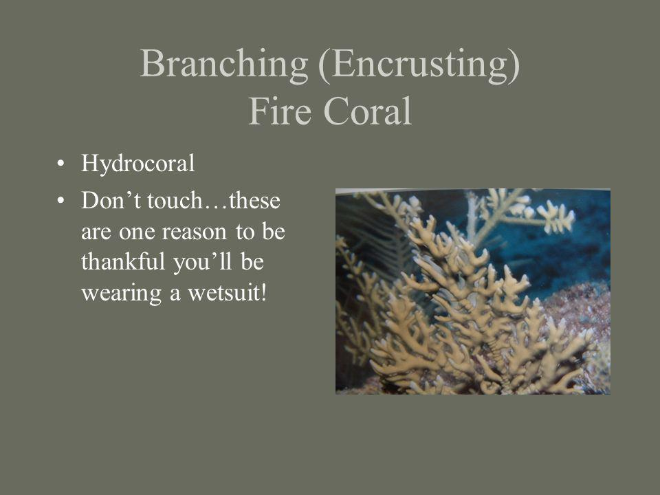 Branching (Encrusting) Fire Coral Hydrocoral Dont touch…these are one reason to be thankful youll be wearing a wetsuit!