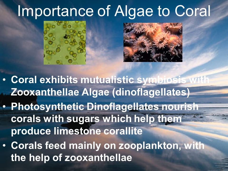 Importance of Algae to Coral Coral exhibits mutualistic symbiosis with Zooxanthellae Algae (dinoflagellates) Photosynthetic Dinoflagellates nourish co