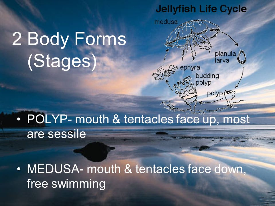2 Body Forms (Stages) POLYP- mouth & tentacles face up, most are sessile MEDUSA- mouth & tentacles face down, free swimming