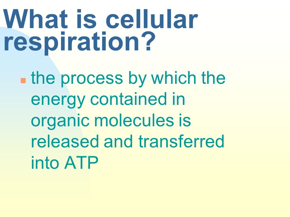 What is cellular respiration? n the process by which the energy contained in organic molecules is released and transferred into ATP