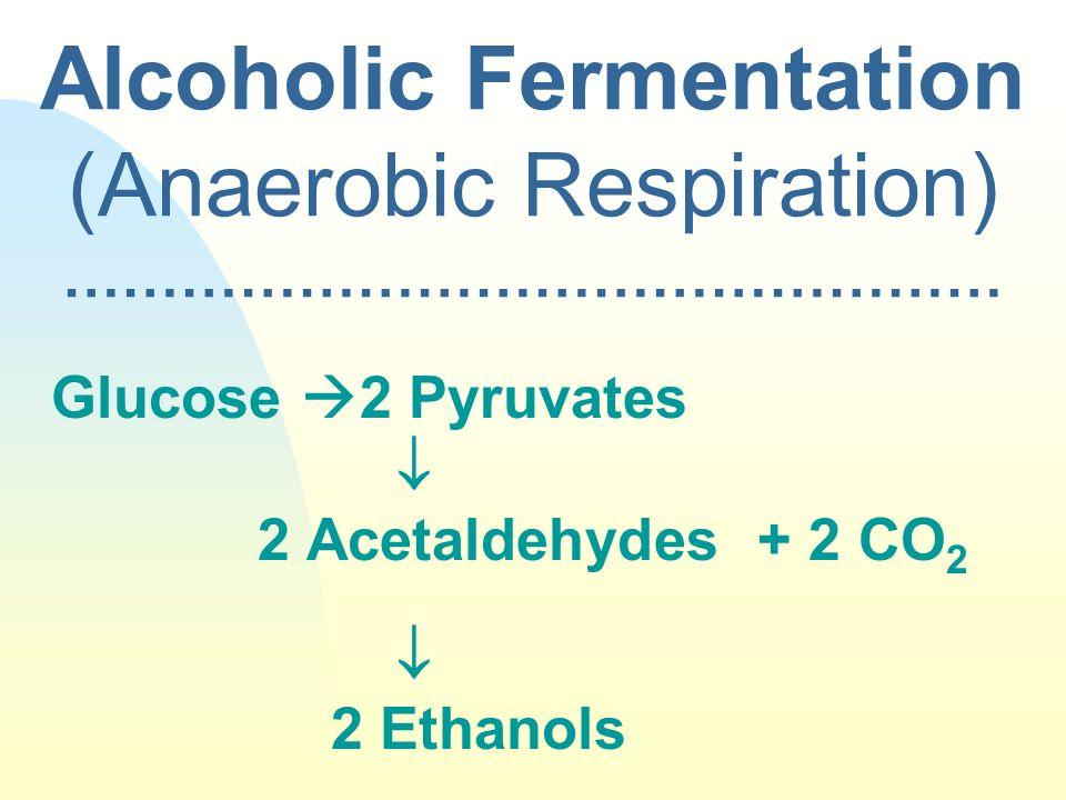 Alcoholic Fermentation (Anaerobic Respiration) ………………………………………… Glucose 2 Pyruvates 2 Acetaldehydes + 2 CO 2 2 Ethanols