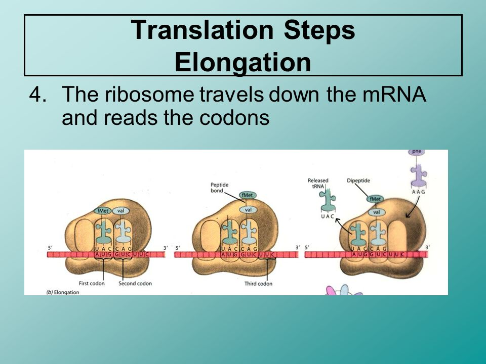 Translation Steps Elongation 4.The ribosome travels down the mRNA and reads the codons