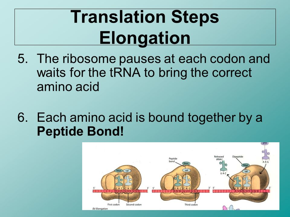 Translation Steps Elongation 5.The ribosome pauses at each codon and waits for the tRNA to bring the correct amino acid 6.Each amino acid is bound tog